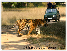 Tiger Tour Pench